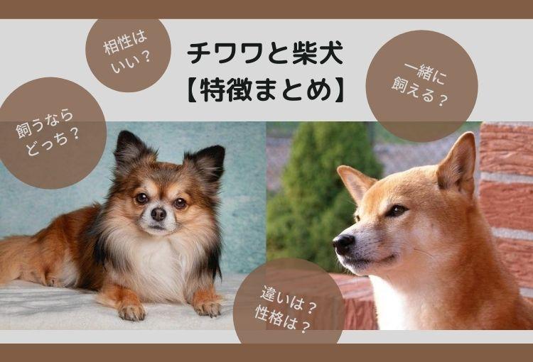 【比較】チワワと柴犬の違い!相性はいい?多頭飼いはできる?【特徴まとめ】